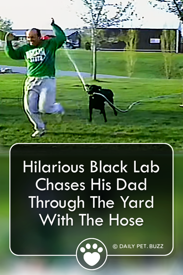 Adorable Labrador gets one-up on his dad when he turns the hose on him. Dad hasn't got a hope of getting away from this funny pooch. #labrador #dog #dogvideos #animals #animalvideos #funnyvideos #labradors #dogs #pets