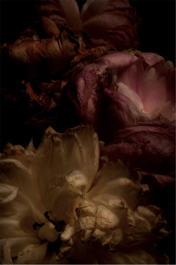 The Planthunter Issue 1 : DEATH  'The Beauty of Passing Form' Photographing Flowers in Decay Photograph by Ameli Tanchitsa http://theplanthunter.com.au/culture/the-beauty-of-passing-form/