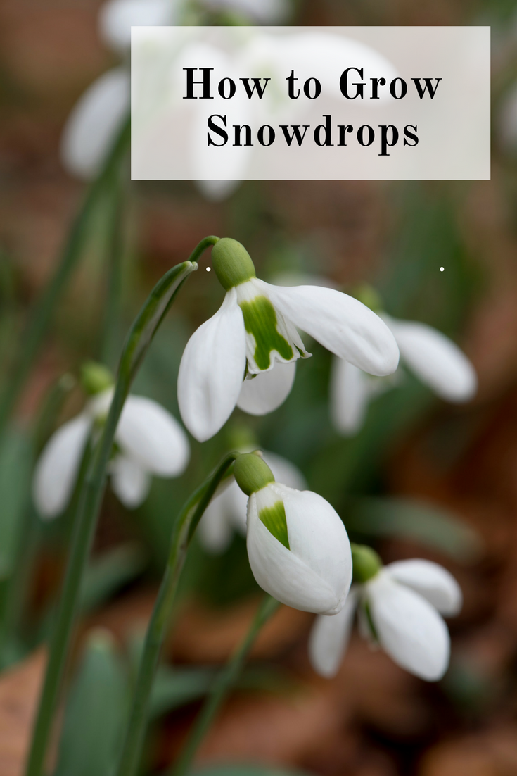 How And Where To Grow Snowdrops Winter Vegetables Gardening Horticulture Garden Help