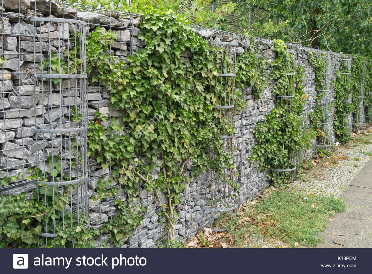 Download this stock image Common ivy (Hedera helix) on a