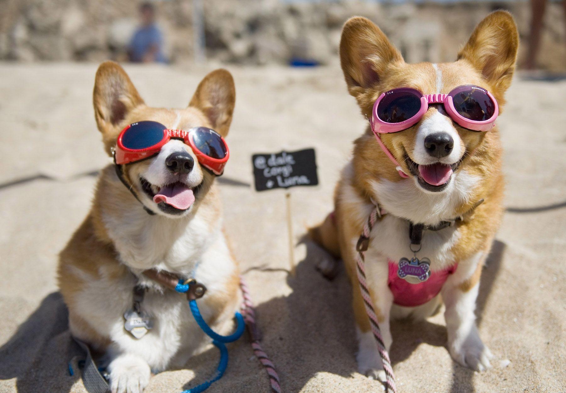 Hundreds Of Corgis Hit The Sand For Corgi Beach Day In Huntington