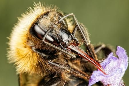 Bumblebee in Lavender II Photo by John Kimbler — National Geographic Your Shot