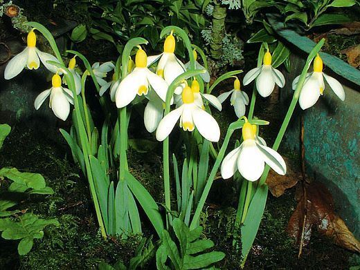 Image result for snowdrop primrose warburg