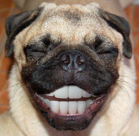 Pug Smiling Pugs Funny