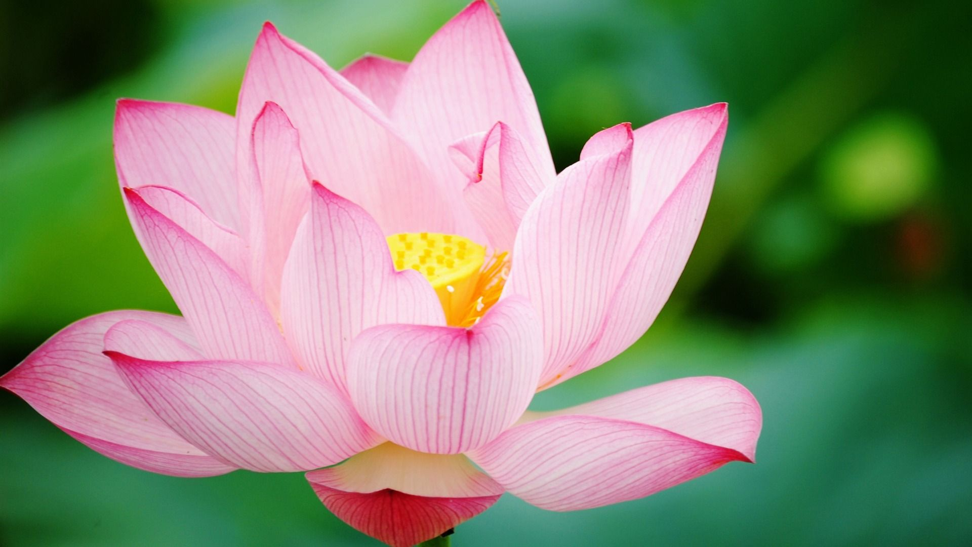 Pin By Dianna Smith On Floral Power Pinterest Lotus Flowers And