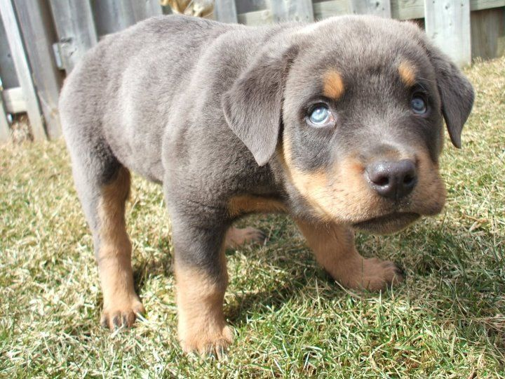 Rottweiler Puppy Rottweiler Puppies Very Cute Dogs Cute Cats And Dogs