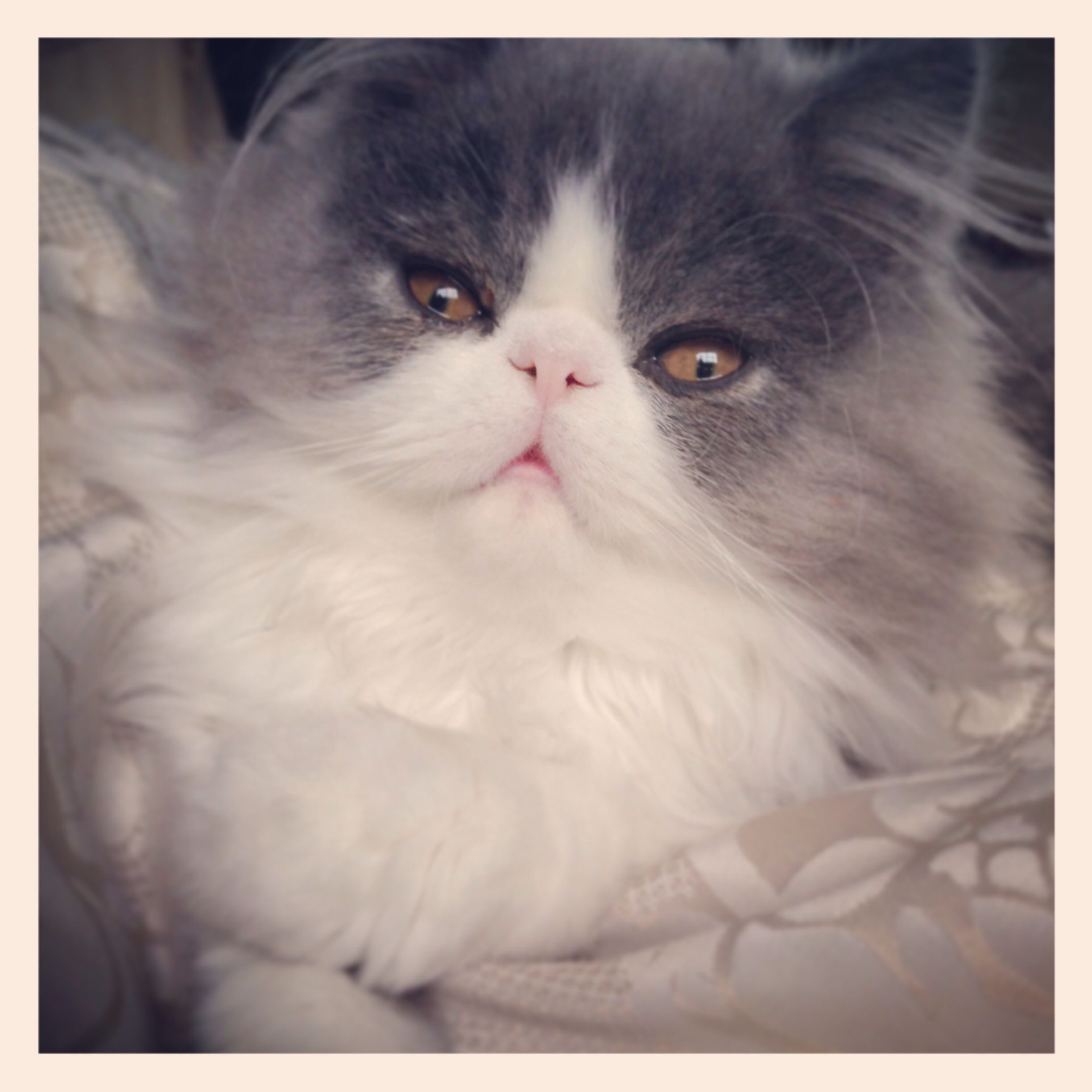 Theodore My Baby Persian Cat Baby Cats Cats And Kittens Cats