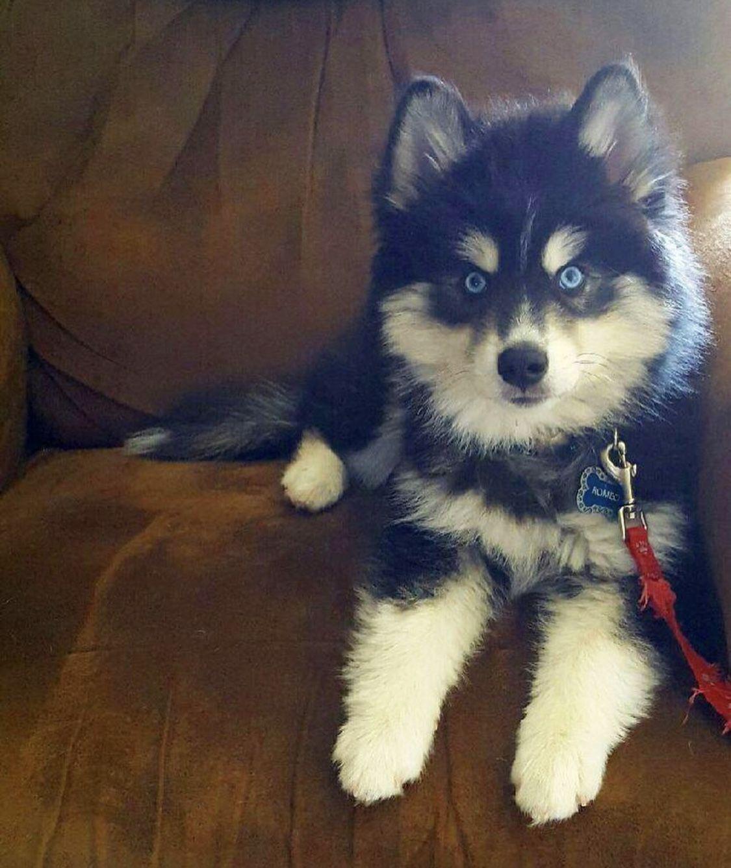 Southern Charm Pomsky Puppy in 2020 Pomsky puppies