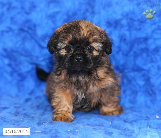 Sheila Shih Tzu Puppy For Sale In Honey Brook Pa Shih Tzu Puppy Puppies Shih Tzu