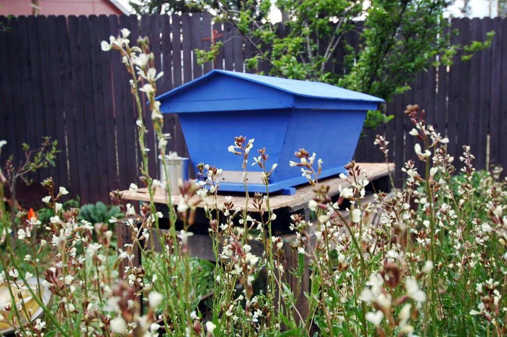 A Golden Mean Top Bar Hive Painted With Milk Paint, Surrounded By Arugula  Flowers,
