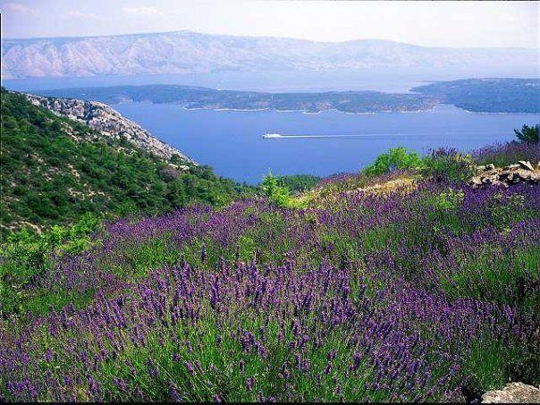 Hvar lavender fields | Polja Lavande,lavender fields | Pinterest ...