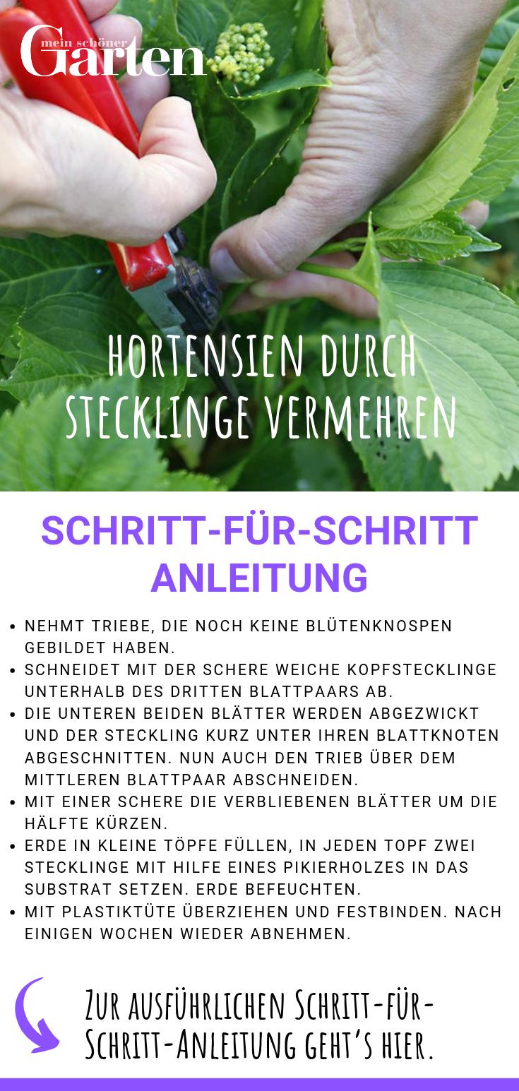 Hortensien durch Stecklinge vermehren: Schritt-für-Schritt-Anleitung #hortensienvermehren