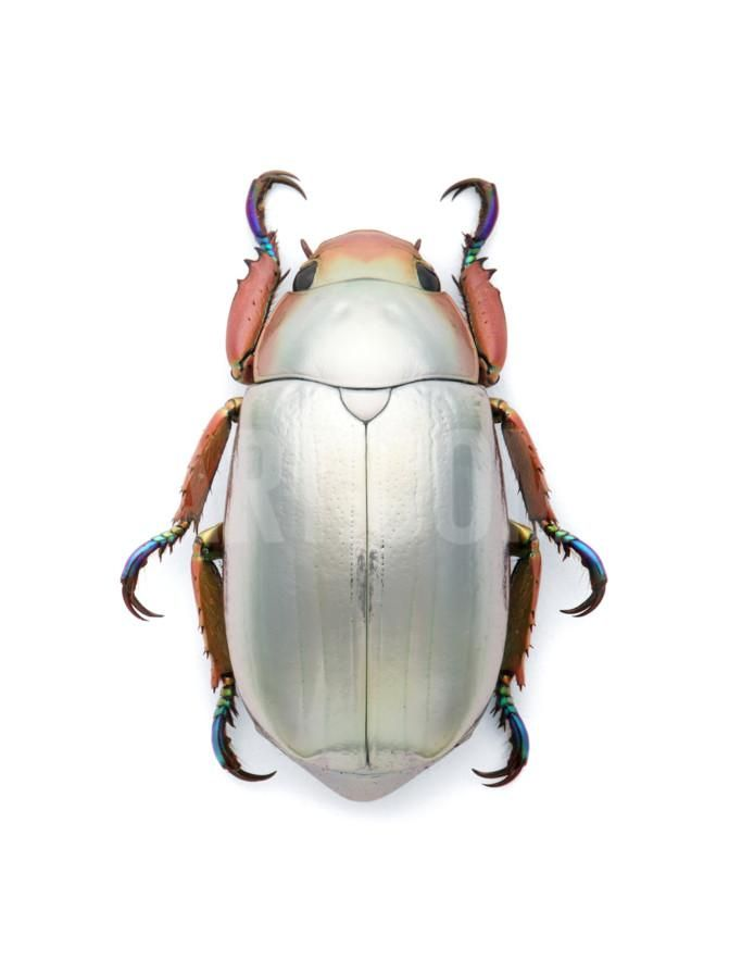 Jeweled Scarab Photographic Print by Christopher Marley at Art.com