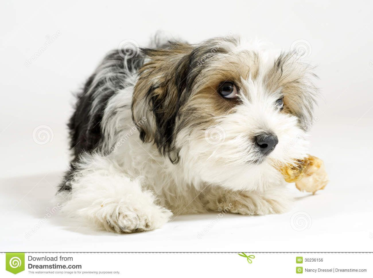 Small Longhaired Mixed Dog 16 Weeks Maltese And Yorkshire