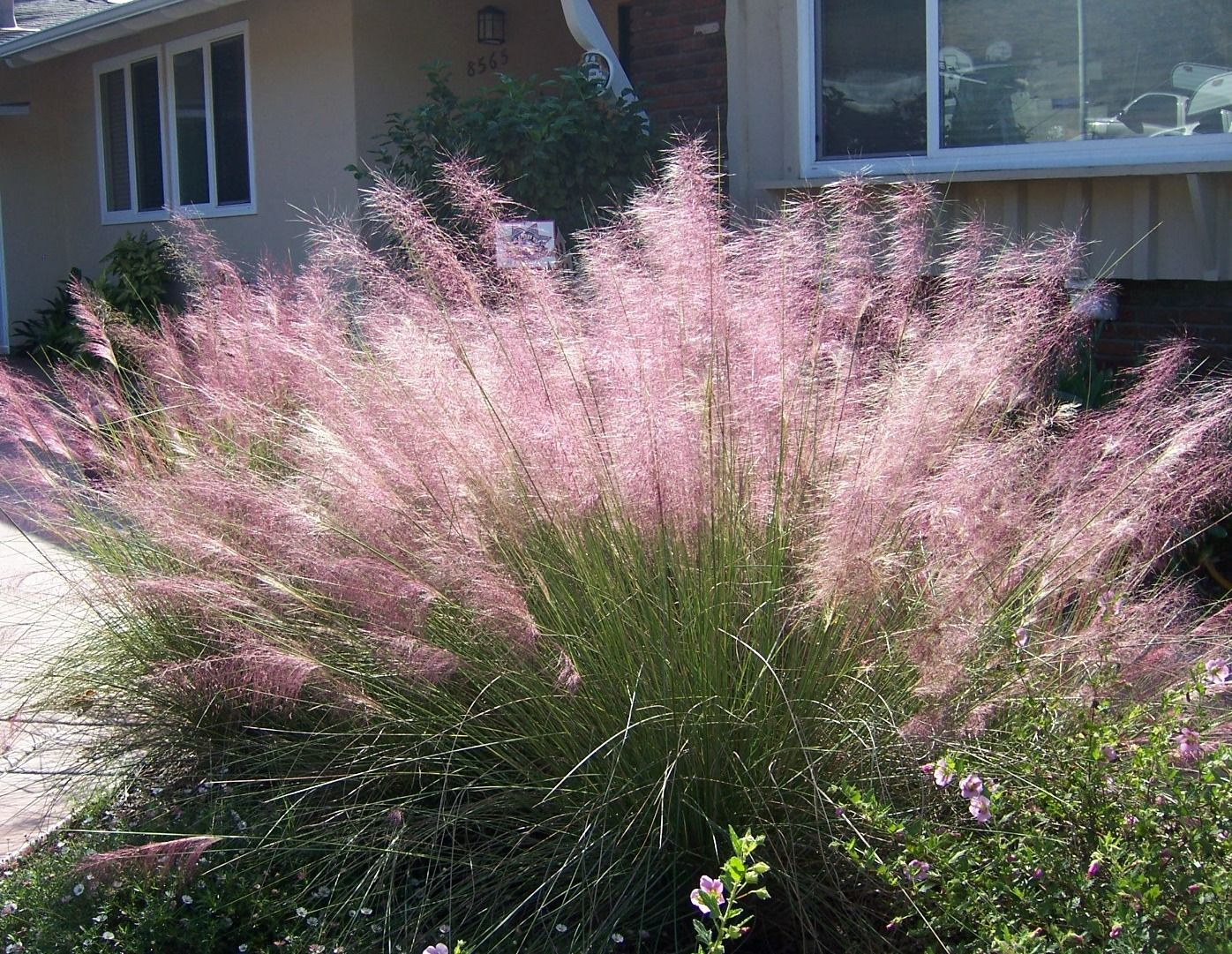 Cotton candy ornamental grass - Candy Cotton Muhly Grass Pink Haze Muhly Muhlenbergia Capillaris Evergreen Dense Mound