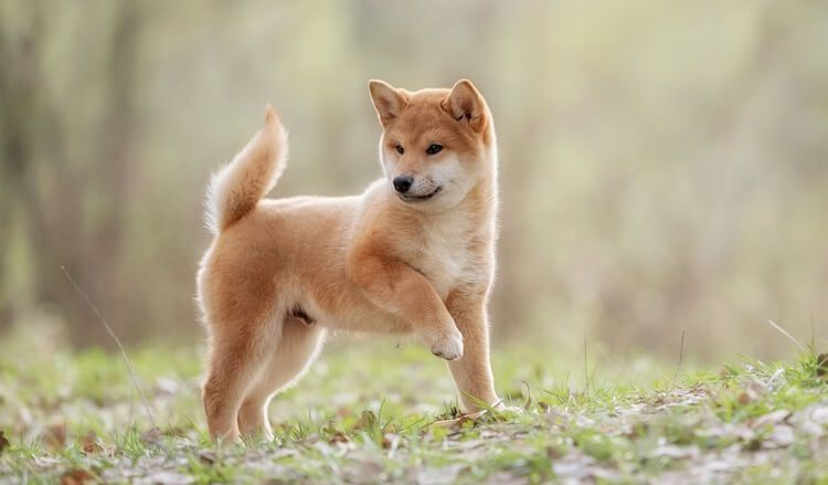 150 Japanese Dog Names Male Female Name Ideas With Meanings 犬の名前 柴犬 犬