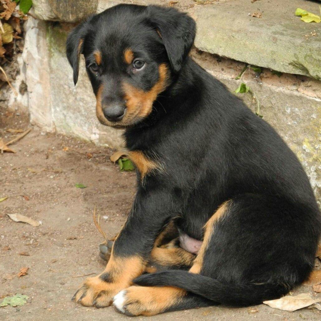 New Zealand Huntaway Puppies Dogs Sheepdog