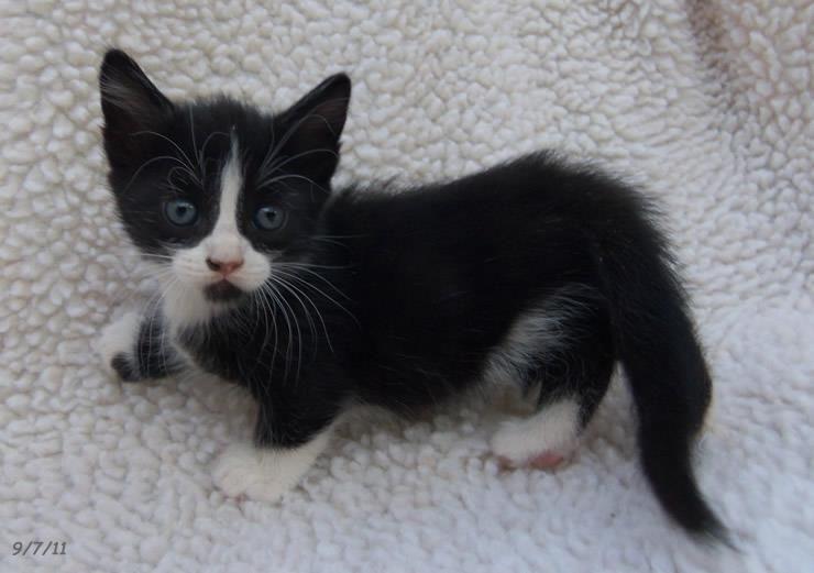 Tuxedo Munchkin Kitten
