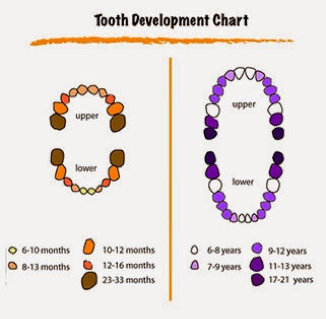 Dental Hygienist Mommy 10 Teeth Facts Baby Teeth Tooth Chart Baby Teething Symptoms