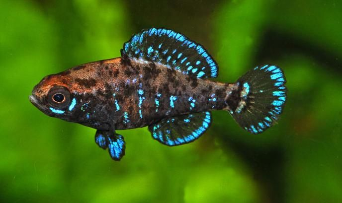 Okefenokee pygmy sunfish do quite well in planted aquaria for Small tropical fish