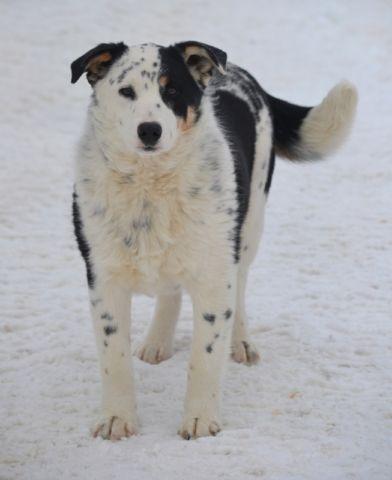 Mini Aussie X Blue Heeler Mini Aussie Dogs Puppies Dogs