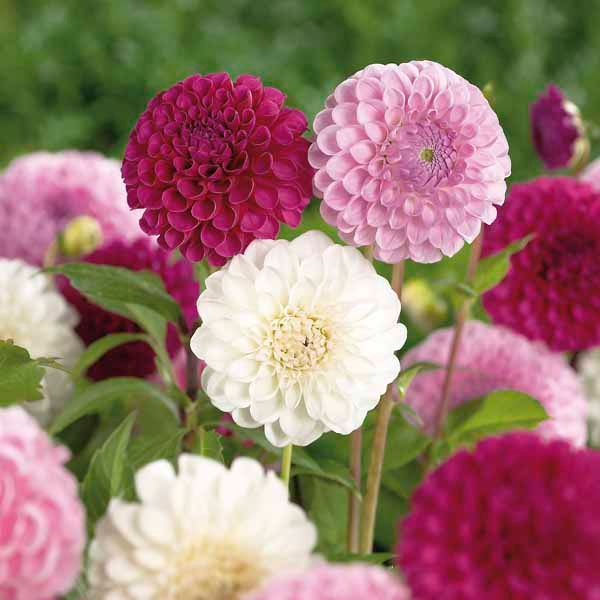 Dahlia Old English Mixed Ball Dahlia Bulbs Departments Diy At B Q Container Gardening Flowers Dahlia Flower Garden