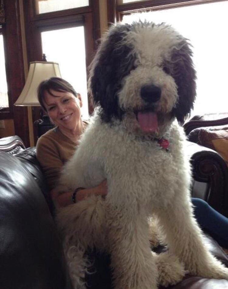 A Great Dane Poodle Mix Poodle Cross Breeds Lap Dogs St Berdoodle