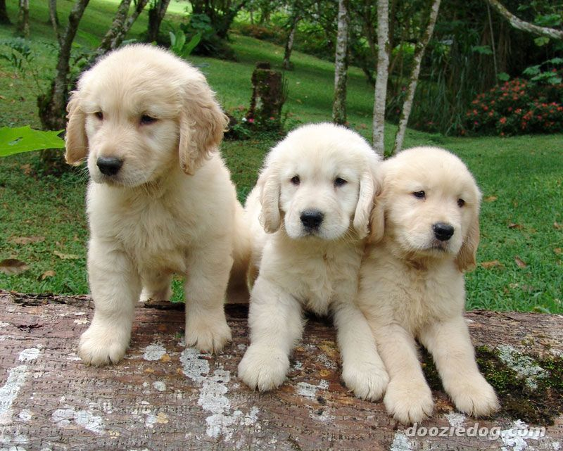 These White Golden Retriever Puppies Are Gorgeous