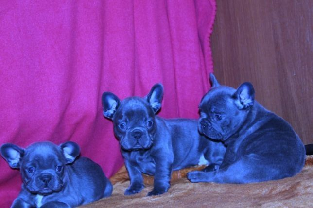 French Bulldog Puppy For Sale In Millville Ma Adn 67231 On
