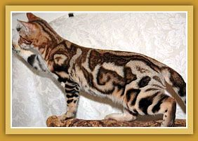 Sierra Gold Bengals Is A California Breeder Of Championship Quality Silver Bengal Cats Brown Bengal Cats Gold Bengal Cats Spotted Bengal Cats And Mar động Vật