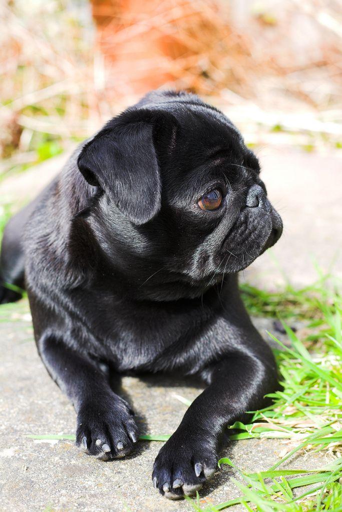 Poochie The Pug Cute Pugs Pugs Cutest Dog Ever