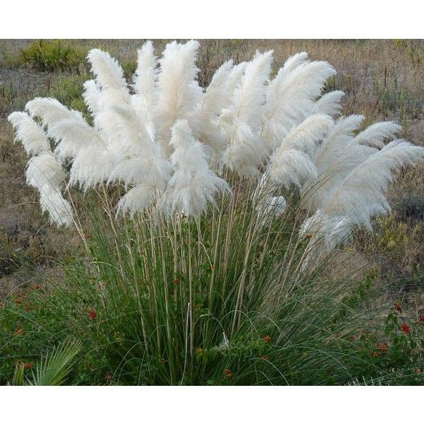 graines cortaderia selloana blanc graines herbe de la pampa blanc in my secert outdoor rooms