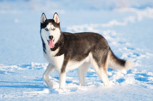 How To Train And Take Care Of A New Siberian Husky Puppy Husky