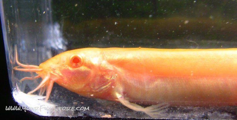 Albino Dojo Loach Lrg Www Yourfishstore Com Dojo Aquarium Chiller Albino