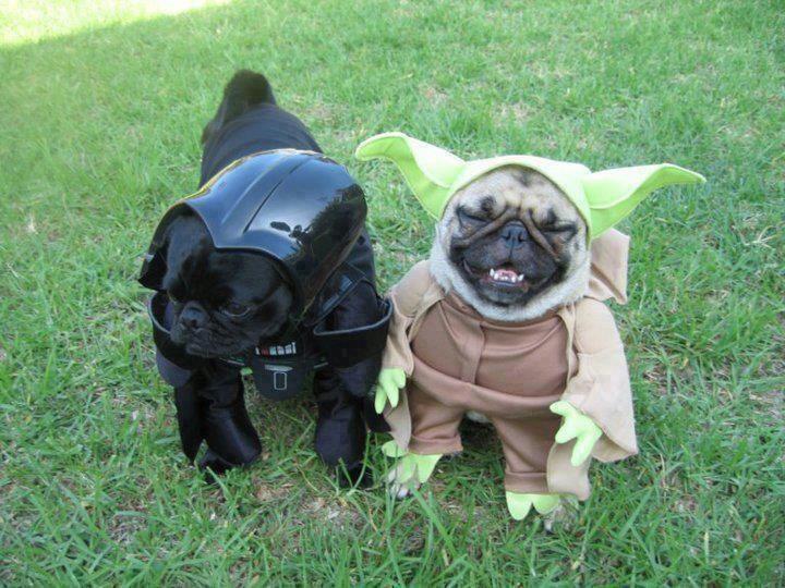 Black Pug Two Pugs Wearing Yoda And Darth Vader Costumes Funny