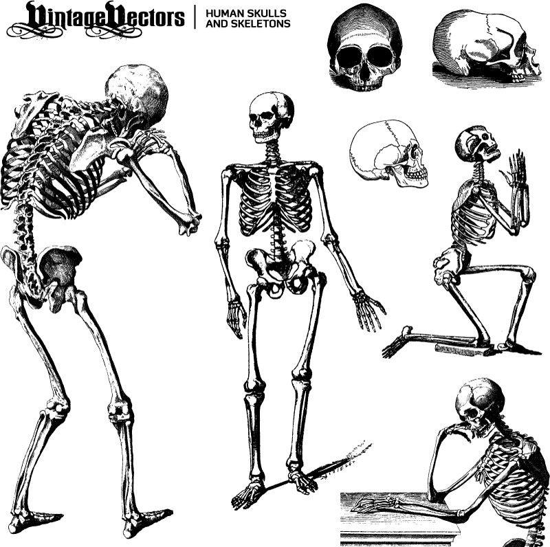 human skeleton vector   mood board   pinterest   mermaid, Skeleton
