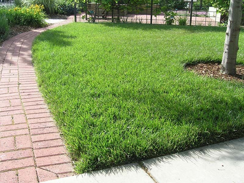 Tall Fescue Grass For Lawn Quiet Corner Tall Fescue Lawn Fescue Grass Tall Fescue