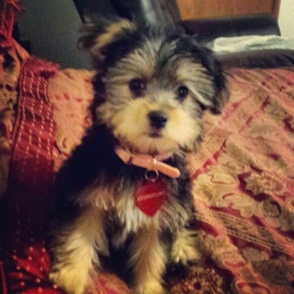 Pin By Brandie Shelton On Cutie Yorkie Poo Yorkie Dogs