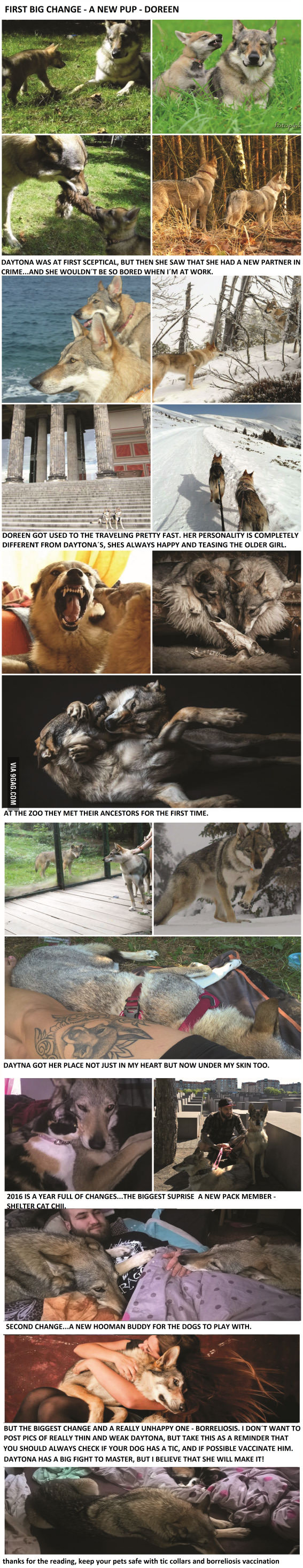 The second part about my wolfdog