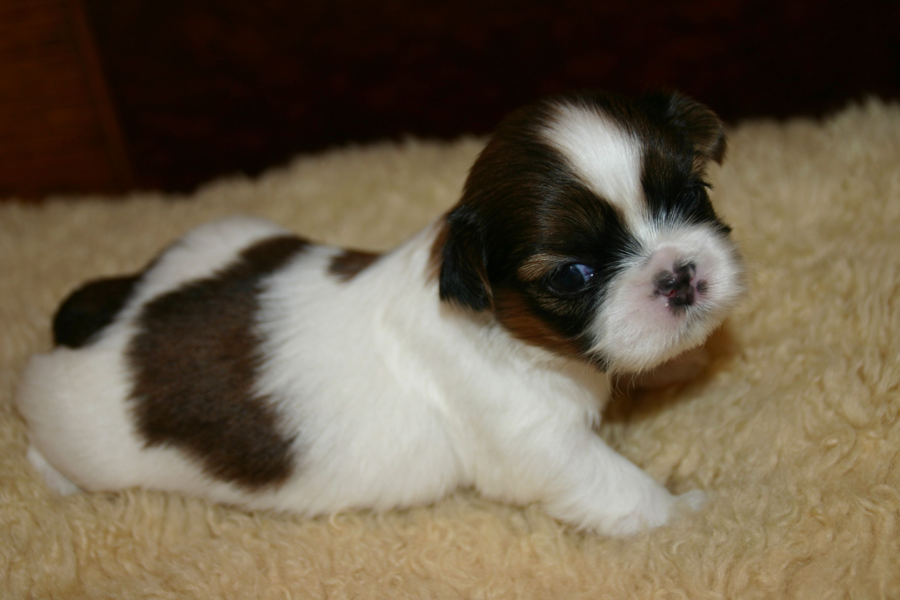 4 Week Old Shih Tzu Puppies With Images Shih Tzu Puppy Dog