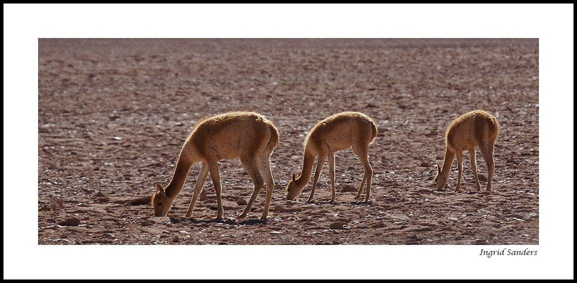 De vicuña is met 70-90 cm en 35-50 kilo een verwant van de lama en de kleinste soort binnen de kamelenfamilie. Ze leeft op graslanden en vlakten van het hoge Andes gebergte in Peru, Chili, Bolivia en Argentinië op een hoogte van 4.000 tot 5.500 m. Hier leven ze met een vacht die het dier beschermt tegen extreme kou, warmte, en ultraviolette straling. Door communitylid Kasangua - NG FotoCommunity © Upload zelf je mooiste foto's op www.nationalgeographic.nl/gebruiker/fotografie/foto/toevoegen