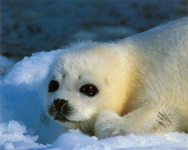 Baby Phoque bebe phoque | sea life | animals, cute animals, harp seal
