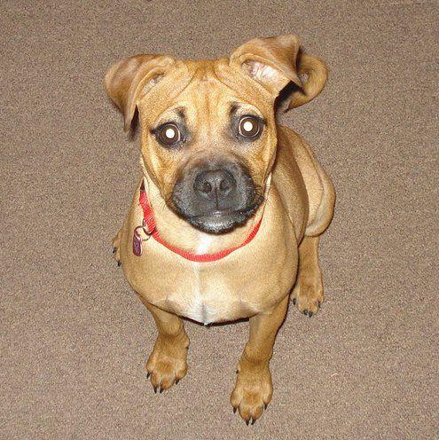 Suki The Pug Pitbull Pitbull Terrier Pugs Pitbulls