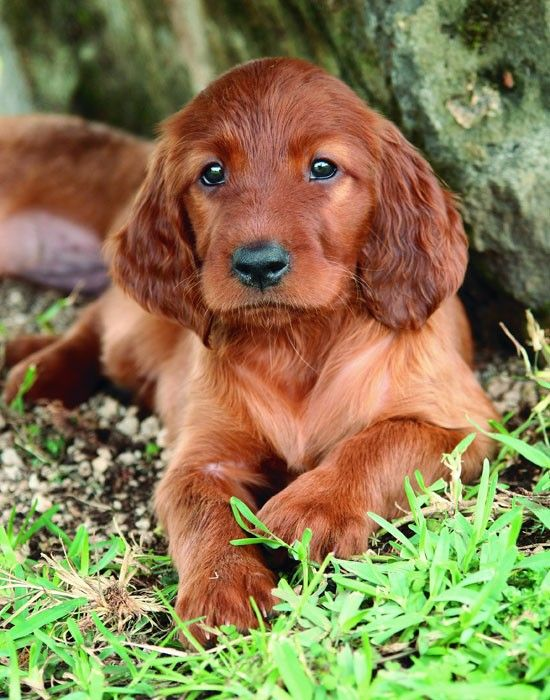 Irish Setter Puppy-Justin and I are getting this puppy in a couple of months! So excited!