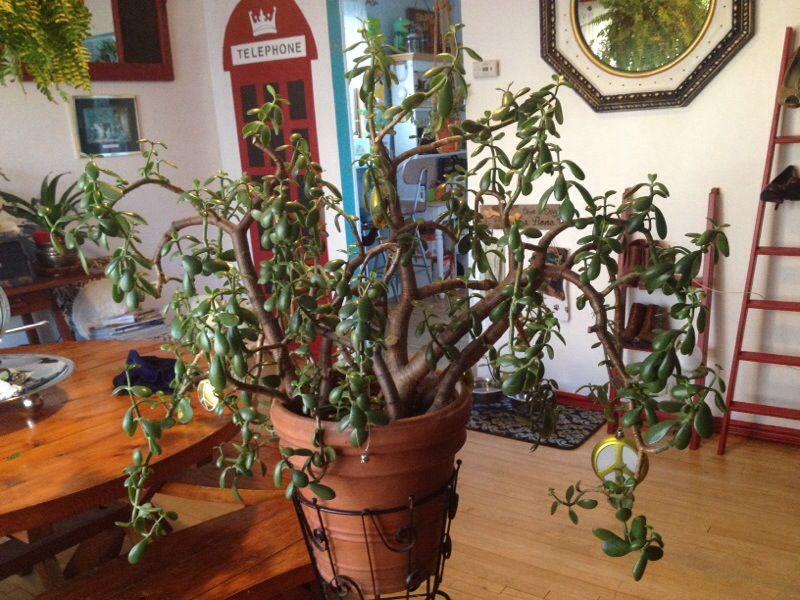 Pruning Jade Jade Plants Jade Plant Pruning Jade Plant Care