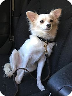 Plainville Ct Chihuahua Papillon Mix Meet Ralph A Dog For