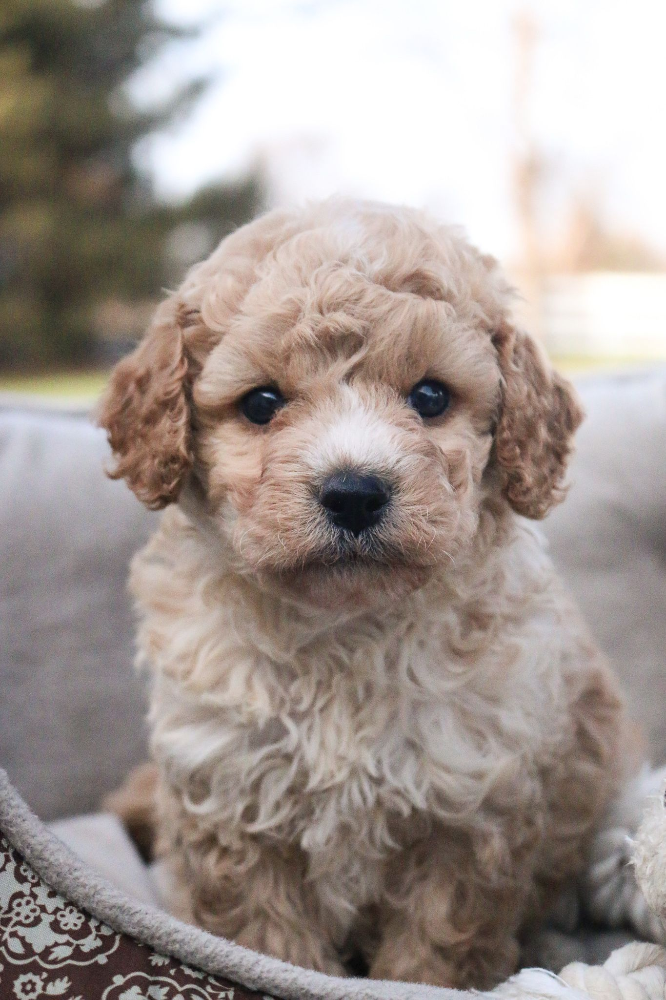 Cavapoolove With A Heartofgold These Adorable Cavapoo