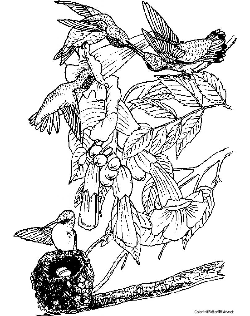 Detailed Hummingbird Realistic Coloring Page To Print For Adults ...