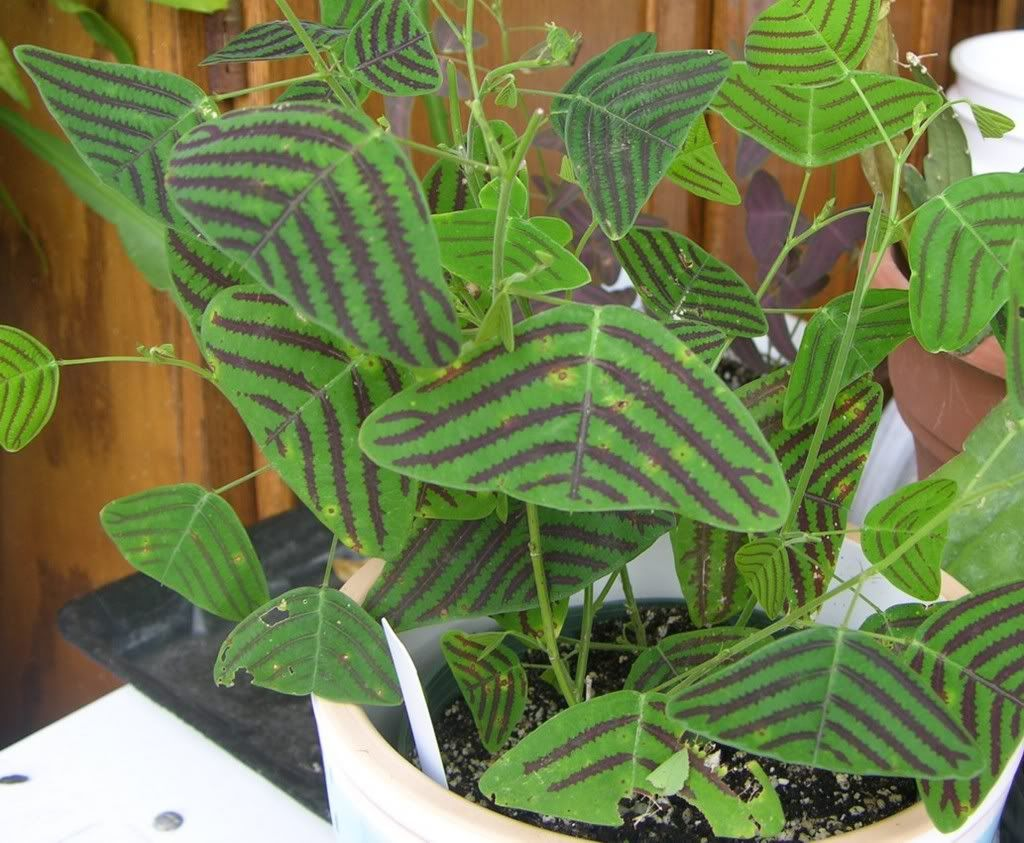 Christa obcordata is known as the Butterfly Stripe Plant