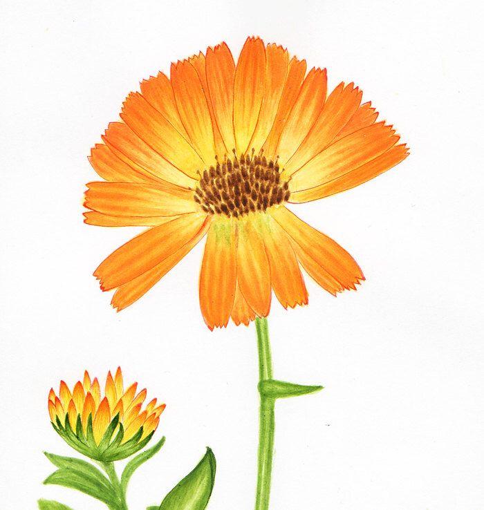 Original Painting Botanical Illustration Calendula Flower Art Ink Spring Decor Orange Green By BluePalette On